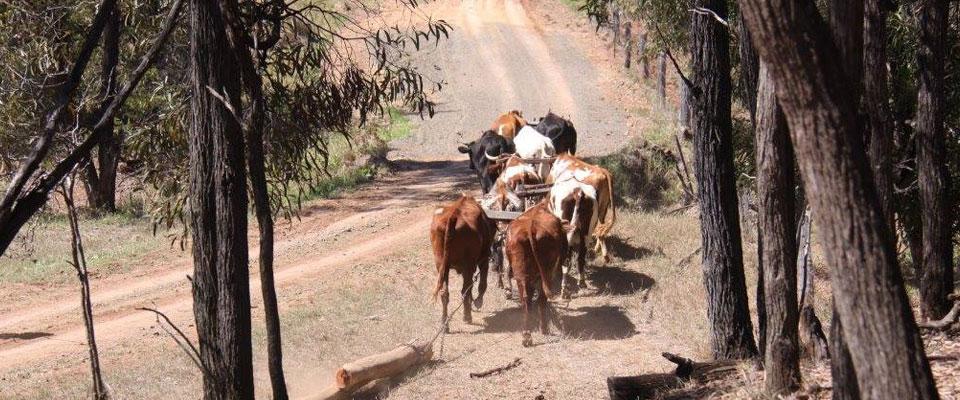 Bullock Team Adventures